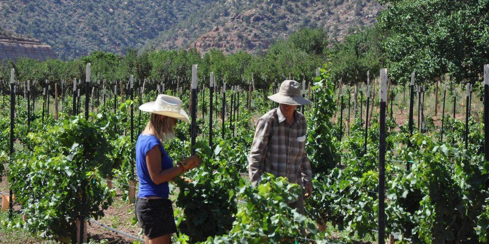 WWOOFers-pruning-the-Chardonnay-block